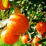 portokalia